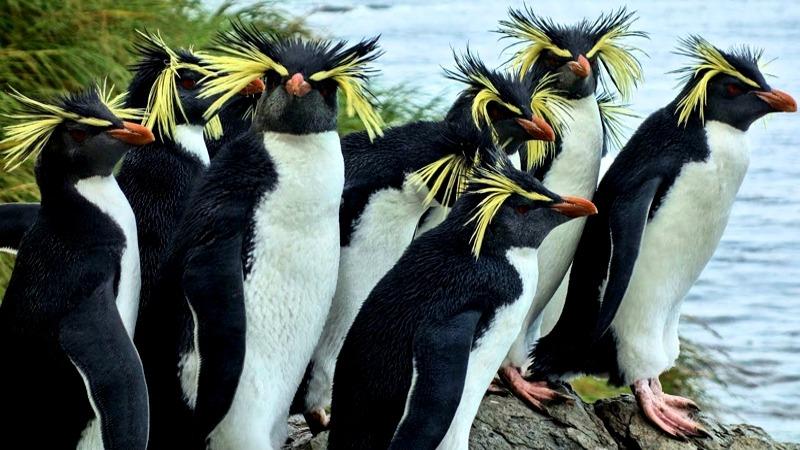 Tristan da Cunha Islands UK Penguins